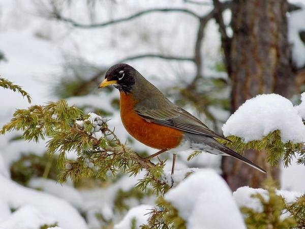 Photograph - Robin In The Snow by Dan Miller