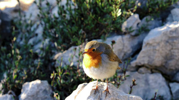 Photograph - Robin Mighty by August Timmermans