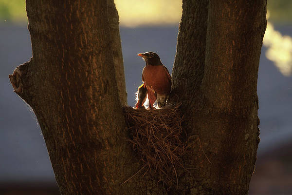 Photograph - Robin Mother In The Springtime Light by Tatiana Travelways