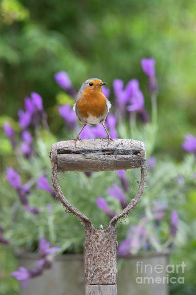 Photograph - Robin On An Old Garden Spade Handle by Tim Gainey