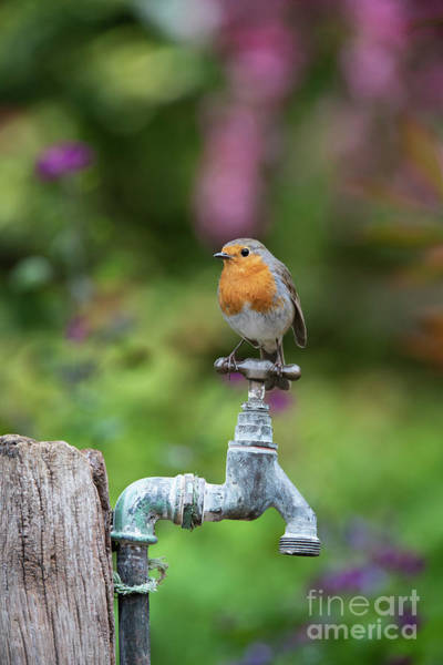 Photograph - Robin On An Old Garden Tap by Tim Gainey