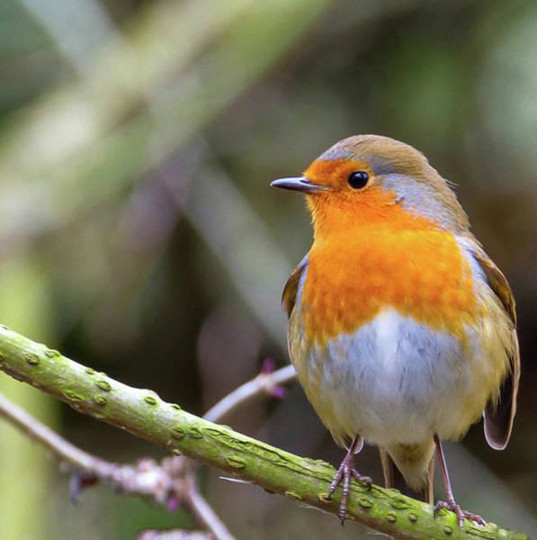 Photograph - Robin. On Guard by John Dakin