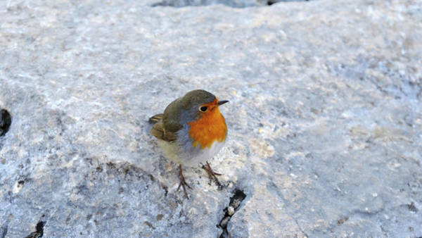 Photograph - Robin On Rock by August Timmermans