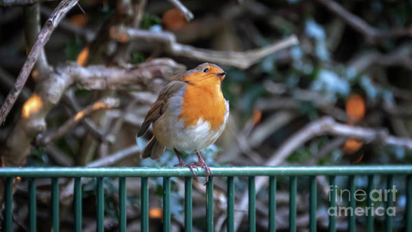 Wall Art - Photograph - Robin Perched On A Rail by Jane Rix