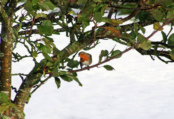 Photograph - Robin Red Breast - Early Snow by Phil Banks