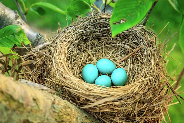Robin Egg Blue Photograph - Robins Eggs by Alexey Stiop
