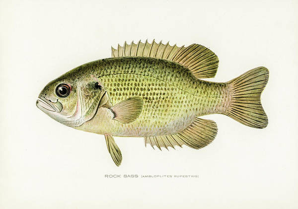 Drawing - Rock Bass by David Letts