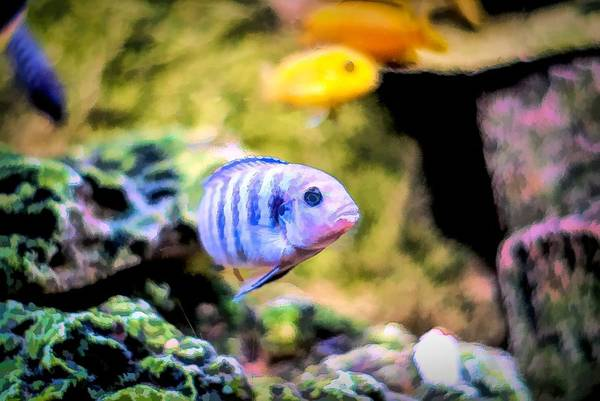 Digital Art - Rock Cichlid Blue Zebra by Don Northup