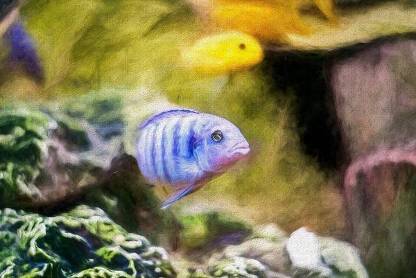 Digital Art - Rock Cichlid Blue Zebra Painterly by Don Northup