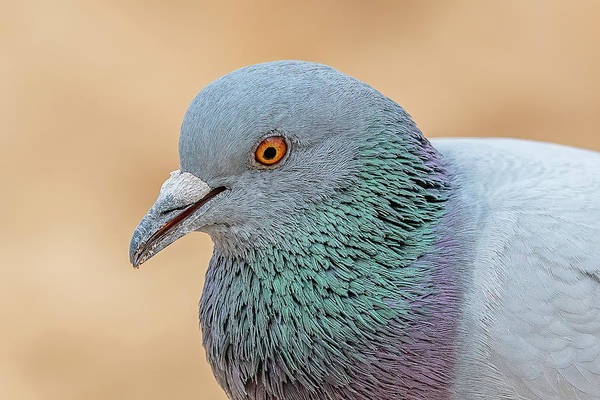 Wall Art - Photograph - Rock Dove Portrait by Morris Finkelstein