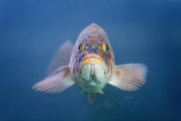 Underwater Camera Photograph - Rock Fish, Bodega Bay, Ca by Diane Miller
