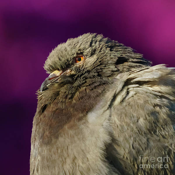 Photograph - Rock Pigeon And Iron Fountain Headshot by Pablo Avanzini