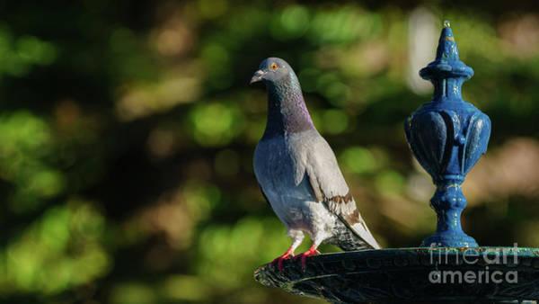 Photograph - Rock Pigeon At Genoves Park Fountain Cadiz by Pablo Avanzini