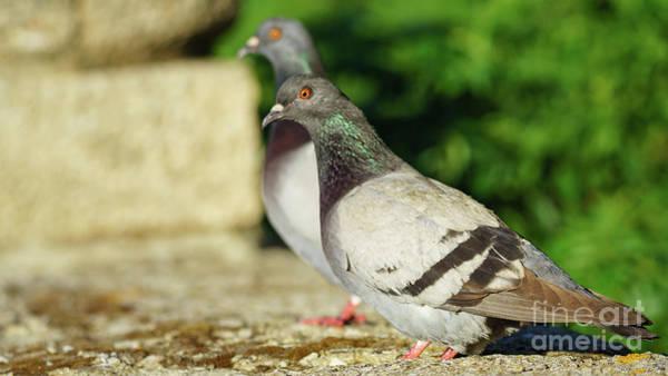 Photograph - Rock Pigeon Cadiz Spain by Pablo Avanzini