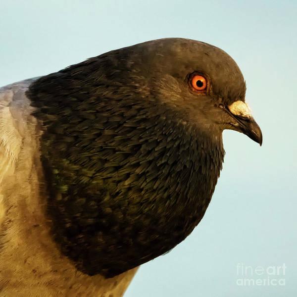 Photograph - Rock Pigeon Headshot Closeup by Pablo Avanzini