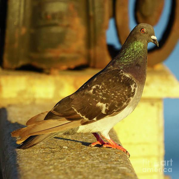 Photograph - Rock Pigeon In Golden Light Alameda Apodace by Pablo Avanzini