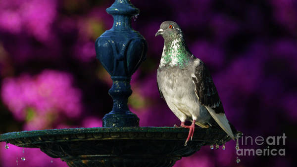 Photograph - Rock Pigeon On Cast Iron Fountain by Pablo Avanzini