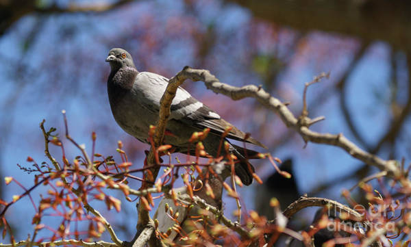 Photograph - Rock Pigeon Perched On A Tree Branch by Pablo Avanzini
