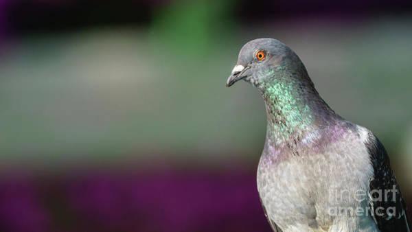 Photograph - Rock Pigeon Portrait Columba Livia by Pablo Avanzini