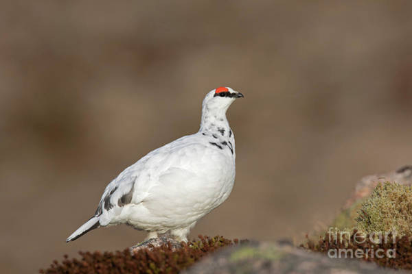 Photograph - Rock Ptarmigan by Arterra Picture Library