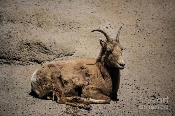 Photograph - Rocky Mountain Big Horn Sheep by Jon Burch Photography