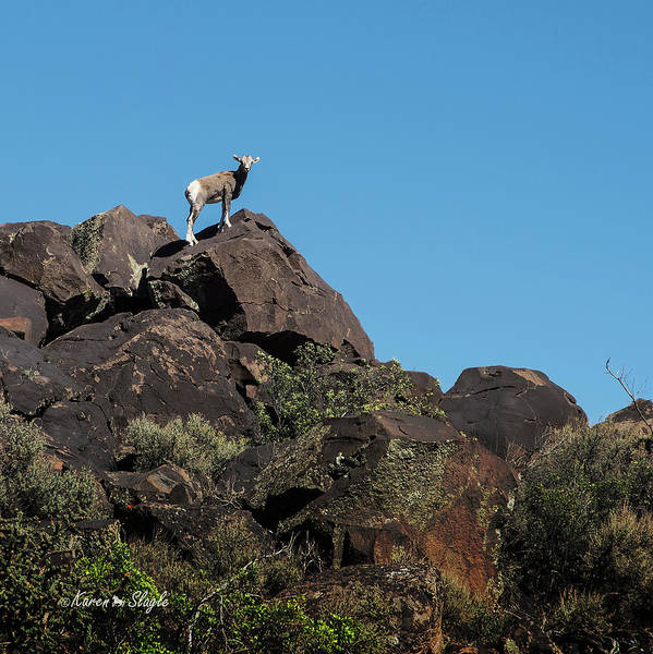 Photograph - Rocky Mountain Big Horn Sheep by Karen Slagle