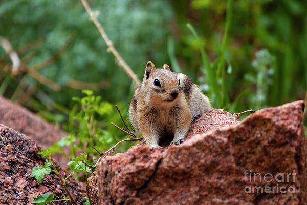 Photograph - Rocky Mountain Chipmunk by Steve Krull