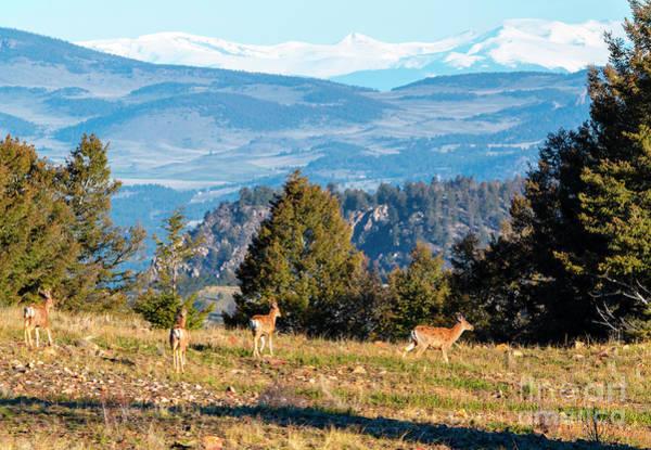 Photograph - Rocky Mountain Deer Herd by Steve Krull