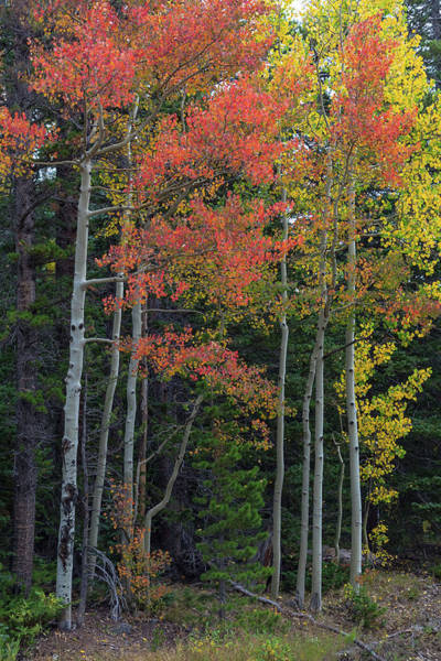 Photograph - Rocky Mountain Forest Reds by James BO Insogna