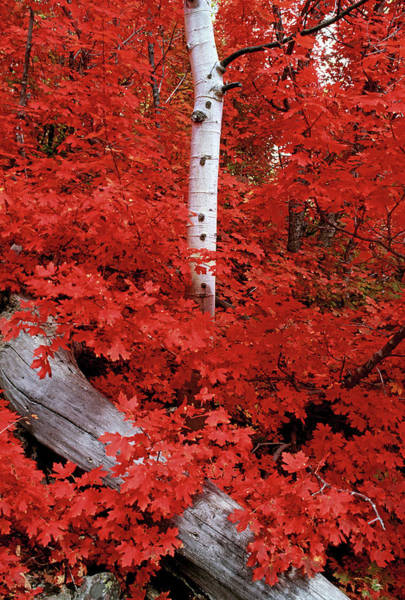 Uinta Photograph - Rocky Mountain Maple Trees And The by Mint Images - David Schultz