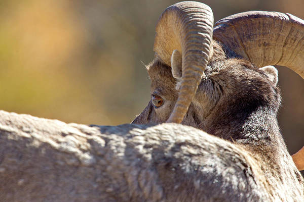 Wall Art - Photograph - Rocky Mountain Ram Sheep by Mark Duffy