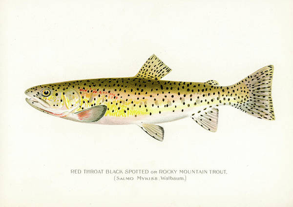 Drawing - Rocky Mountain Trout by David Letts
