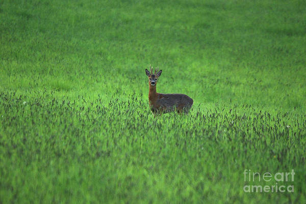 Photograph - Roe Buck - Hay Field by Phil Banks