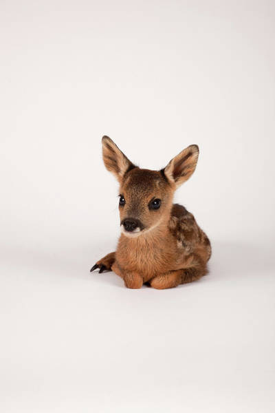 Fawn Photograph - Roe Deer Fawn by Les Stocker