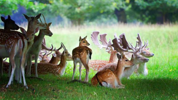 Fawn Photograph - Roe Deer Group by Nigel Burkitt