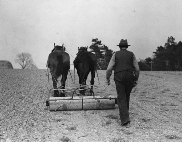 Plow Horses Photograph - Rolled Oats by Fox Photos