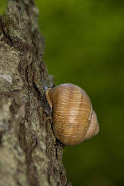 Wall Art - Photograph - Roman Snail by David Hosking