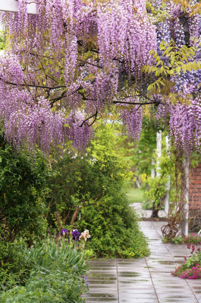 Photograph - Romantic Blooms Of Pink Wisteria Honbeni by Jenny Rainbow