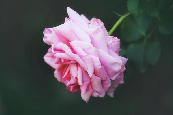 Wall Art - Photograph - Romantic Rose by Toni Hopper