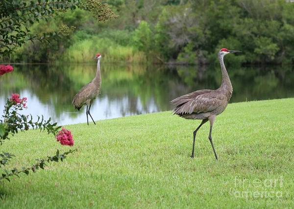 Wall Art - Photograph - Romantic Sandhill Cranes by Carol Groenen