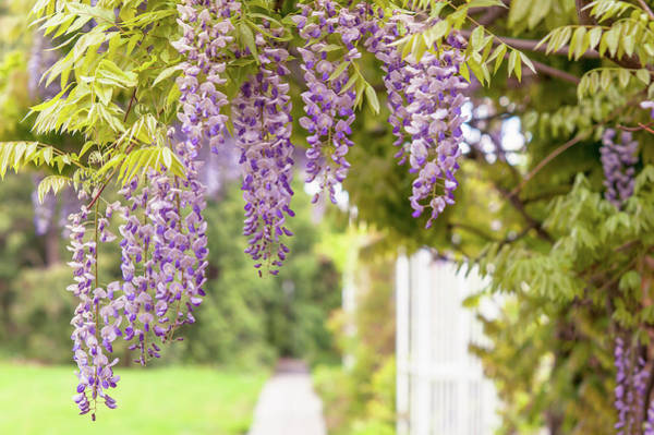 Photograph - Romantic Walk In Wisteria Garden 1 by Jenny Rainbow