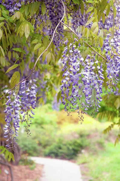 Photograph - Romantic Walk In Wisteria Garden 2 by Jenny Rainbow