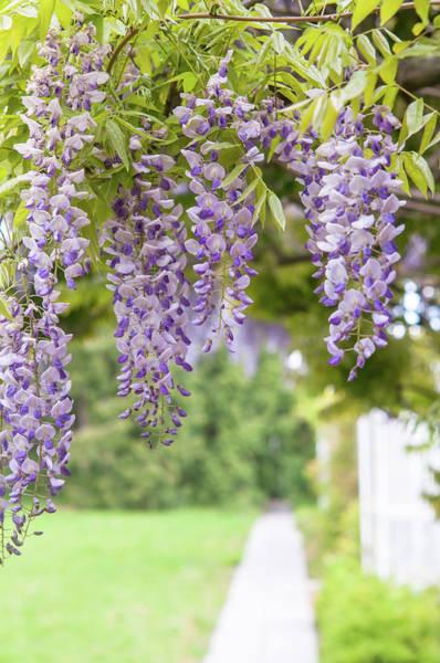 Photograph - Romantic Walk In Wisteria Garden by Jenny Rainbow