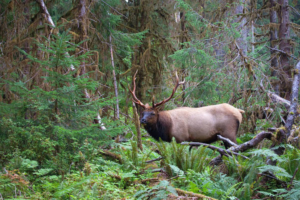 Roosevelt National Forest Photograph - Roosevelt Elk In Olympic Rain Forest by Philip Kramer