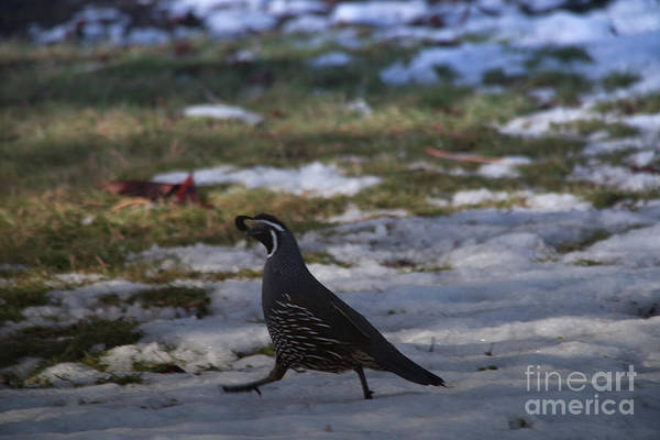 Wall Art - Photograph - Rooster Quail On The Go by Jeff Swan