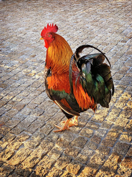 Photograph - Rooster Strut by Jill Love