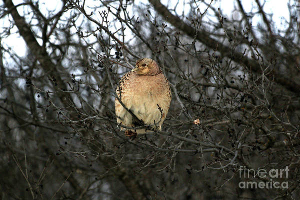 Photograph - Roosting Hen by Lori Tordsen