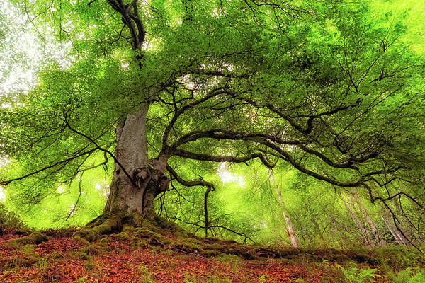 Photograph - Roots Of Taymouth Estate - Scotland - Beech Tree by Jason Politte