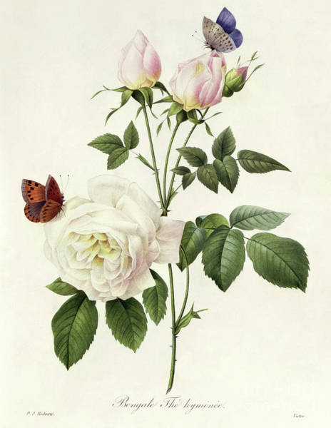Wall Art - Painting - Rosa Bengale The Hymenes By Redoute by Pierre Joseph Redoute
