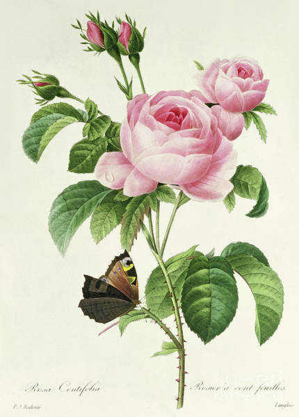 Wall Art - Painting - Rosa Centifolia Vintage Botanical Print By Redoute by Pierre Joseph Redoute